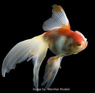 Cá Vàng Đuôi Quạt (Fantail)