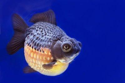 Cá Vàng Ngọc Trai (Pearlscale)