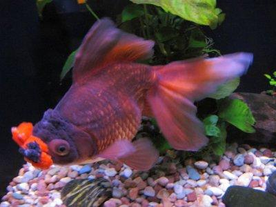 Cá vàng Pompon