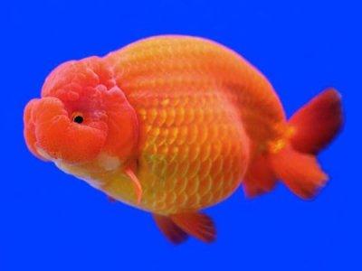 Cá vàng Lan Thọ (Ranchu)