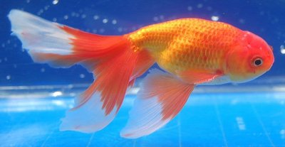 Cá vàng Thọ tinh