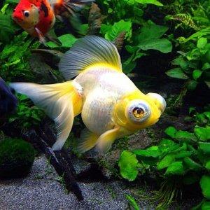 Cá Vàng Mắt Lồi (Demekin-Celestial)