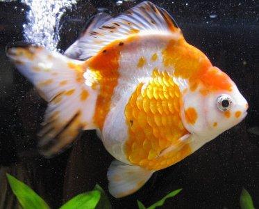 Cá vàng Lưu kim/Lưu kim nhật (Ryukin)