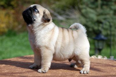 Các loại giống chó cảnh đẹp và hướng dẫn chăm sóc chú chó của bạn