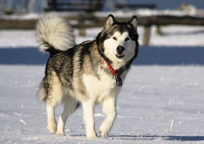 Những  bệnh thường gặp và cách chữa trị ở chó Husky