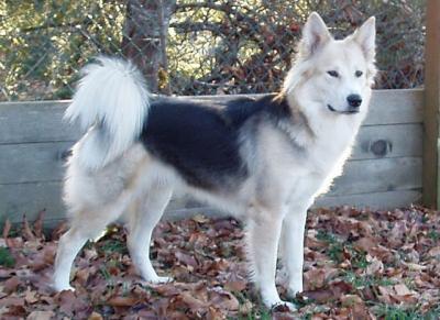 Giống chó Husky lai được săn tìm nhiều nhất