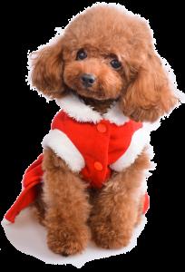 Nguồn gốc cách chăm sóc bảng giá chó Poodle
