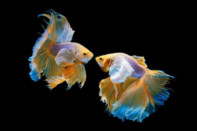 Thông tin và kỹ thuật nuôi cách ép và giá cá betta